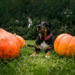 Best Pumpkin Dog Treats